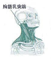 肩こり_胸鎖乳突筋