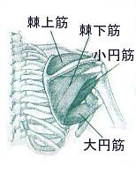 肩こり_棘上筋・棘下筋・小円筋・大円筋